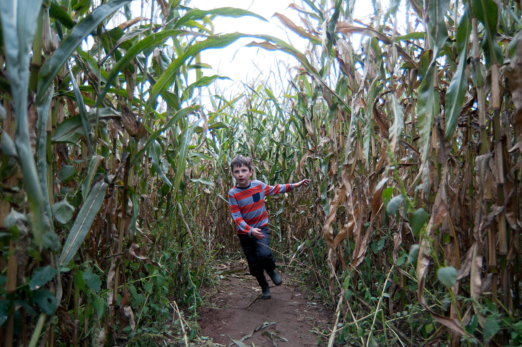 J.R. Rardon/PQB News file                                Harry Tkach of Parksville, 8, races through the corn during the annual Harvest Festival at Silver Meadows Farm in Errington in October.